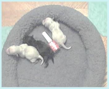 baby photo album shananigan s teacup poodles